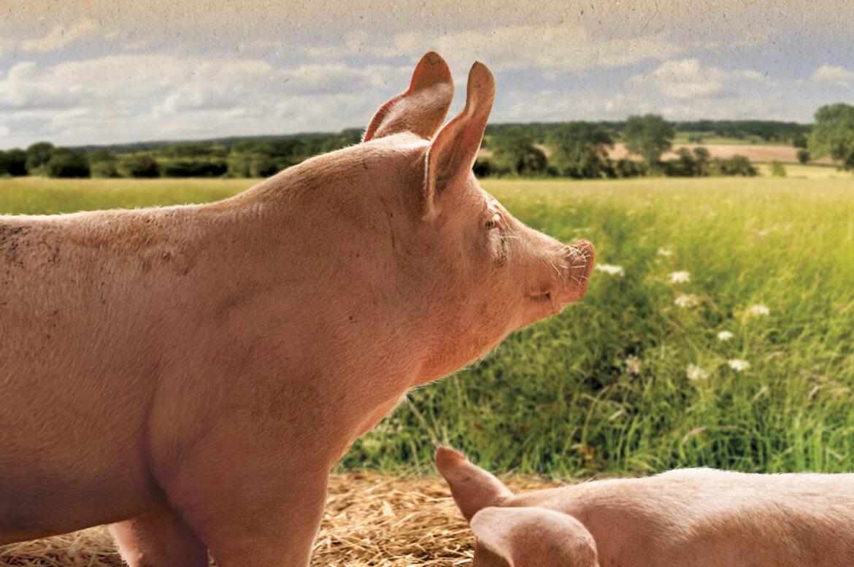 SpoiltPig Pig
